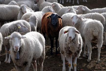 Imagen de cabras